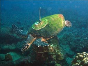 Endangered Sea Turtle Saved from 'Pirate Fishermen'