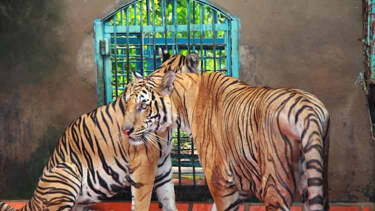 FILE - In this file photo taken on July 4, 2012, tigers rest in a cage at a tiger farm in southern Binh Duong province, Vietnam. Conservationists allege that Vietnam's 11 registered tiger farms are merely fronts for a thriving illegal market in tiger parts, highly prized for purported - if unproven - medicinal qualities. (AP Photo/Mike Ives, File)