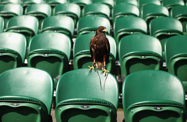 FILE - Rufus, The Wimbledon Hawk, Stolen From Car