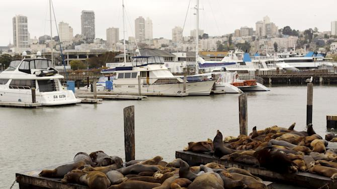 Sea lions gather on floating docks at Pier 39 in San Francisco