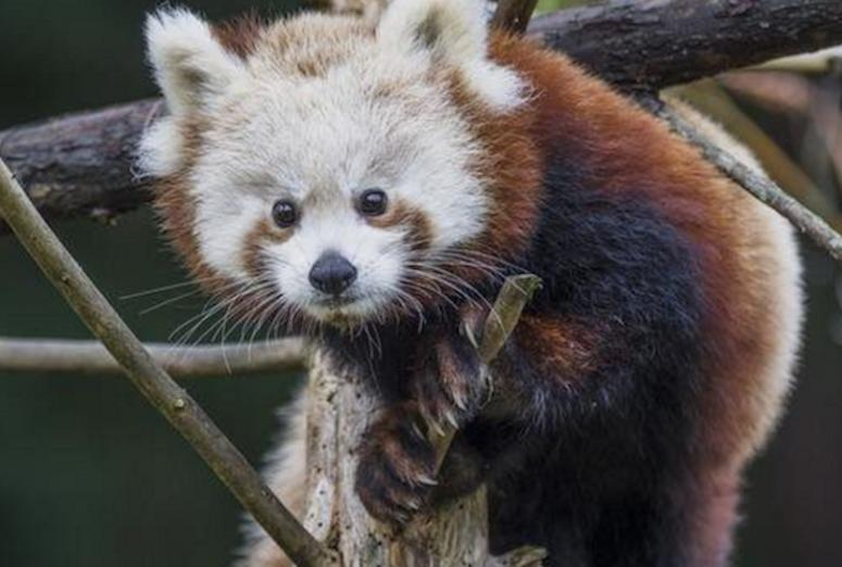California Zoo Finds Missing Red Panda, Calls Off Search