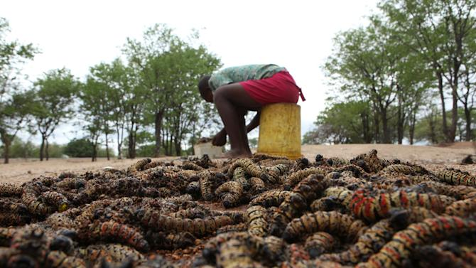 In this photo taken Monday  Jan. 7, 2013, Sihle Nkomo begins to prepare harvested mopane worms at her home in Gwanda, Zimbabwe. In Zimbabwe as well as most parts of southern Africa, mopane worms are a staple part of the diet in rural areas and are considered a delicacy in the cities. They can be eaten dry, as crunchy as potato chips, or cooked and drenched in sauce. (AP Photo/Tsvangirayi Mukwazhi)