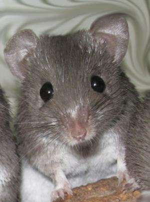 Mighty Mouse Holds Secret for Regrowing Skin