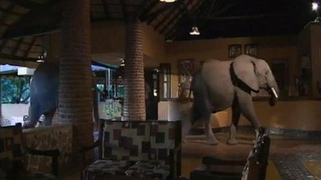 Elephants Walk Through Lodge in Zambia