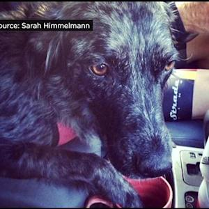 Roseville Woman Searching For Service Dog Lost At Folsom Lake