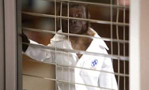 NBC's Animal Practice is closing shop after six little-watched episodes, which means Crystal the Monkey is out of a job.