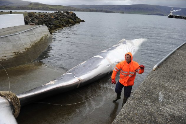 A man stands near a finwhale being towed to a port in Reykjavik
