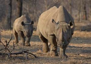 An endangered east African black rhino and her young one walk in Tanzania's Serengeti park in this file photo
