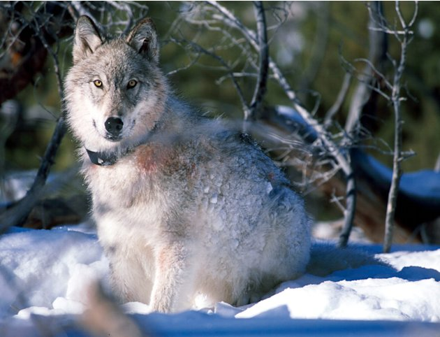 File-This Jan. 2003 handout file photo provided by the U.S. Fish and Wildlife Service shows a 130-pound gray wolf as it watches biologists in Yellowstone National Park, Wyo., after being captured and