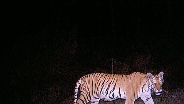 Tiger Population in Nepal Park Doubles in 2 Years