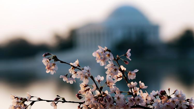 DC's Cherry Blossoms Come To Late Bloom