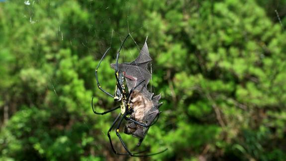 Bat-Eating Spiders Are Everywhere, Study Finds