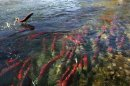 File photo of a sockeye salmon jumping out of the water while others gather in the shallows of the Adams River near Chase, British Columbia