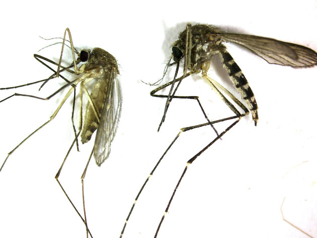 This undated photo provided by the Northwest Mosquito Abatement District  shows a Culex pipiens, left, the primary mosquito that can transmit West Nile virus to humans, birds and other animals. It is