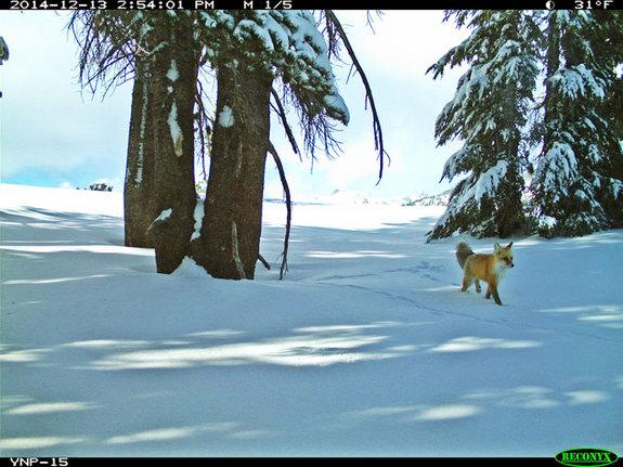 Rare Red Fox Spotted in Yosemite Park for 1st Time in a Century