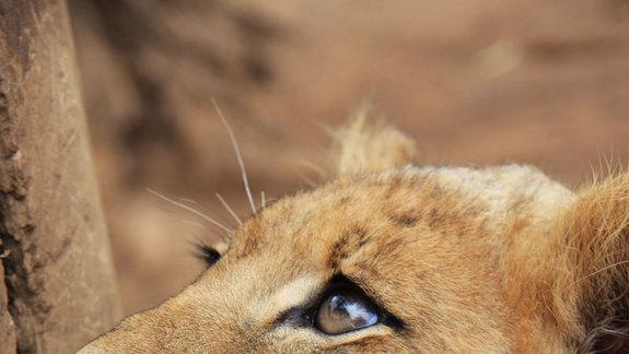 Half of Africa's Lions May Go Extinct in 40 Years
