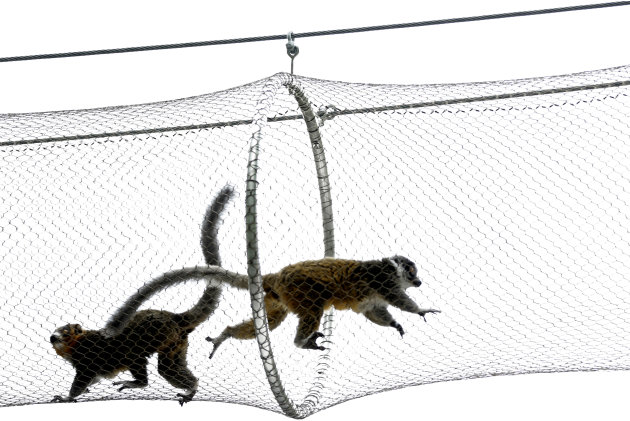 Mongoose lemurs run on a protected path above a walkway at Philadelphia Zoo Monday, Aug. 20, 2012, in Philadelphia. The zoo is in the process of building a trail network that will allow animals from s