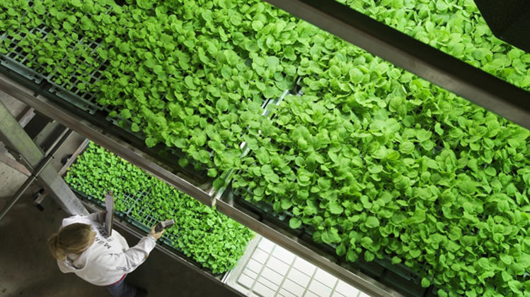 FILE - In this undated file photo provided by Kentucky BioProcessing, tobacco plants are grown in a controlled environment at the Kentucky BioProcessing facility in Owensboro, Ky. The company is using tobacco plants grown at this facility to help manufacture an experimental drug to treat patients infected with Ebola. In the case of the Americans being treated for Ebola, the treatment uses proteins called antibodies to inactivate the Ebola virus and help the body kill infected cells. (AP Photo/Kentucky BioProcessing, File)