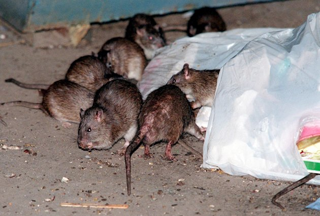 FILE- In this July 7, 2000 file photo, rats swarm around a bag of garbage near a dumpster at the Baruch Houses in New York. Various New York City neighborhoods have been complaining about an onslaught of rats in the wake of Superstorm Sandy. The New York City Council is considering a proposal to create an emergency rat mitigation program for storm-impacted neighborhoods. But some experts aren't so sure that Sandy's supposed rat surge is for real. (AP Photo/Robert Mecea, File)