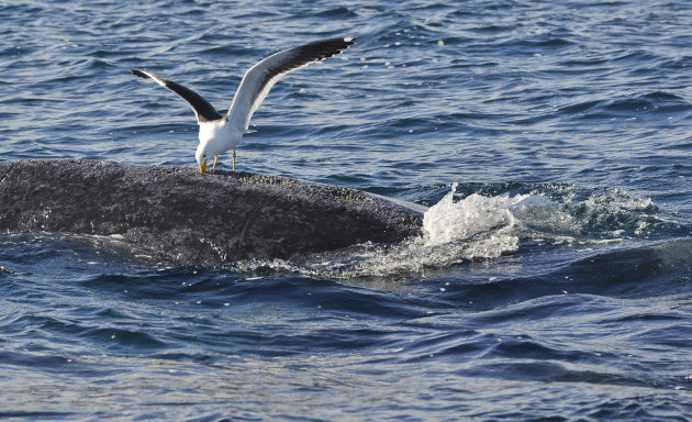 In this Aug. 19, 2012 photo, a seagull pecks at a whale in the southern Atlantic Ocean near Puerto Piramides, Argentina. As seagulls have become a hazard for whales in one of their prime birthing grounds, provincial authorities are planning to have police shoot the gulls. Environmentalists are crying foul, saying officials should instead close a nearby garbage dump and stop fishermen from dumping scraps to reduce the gulls' numbers. (AP Photo/Daniel Feldman)