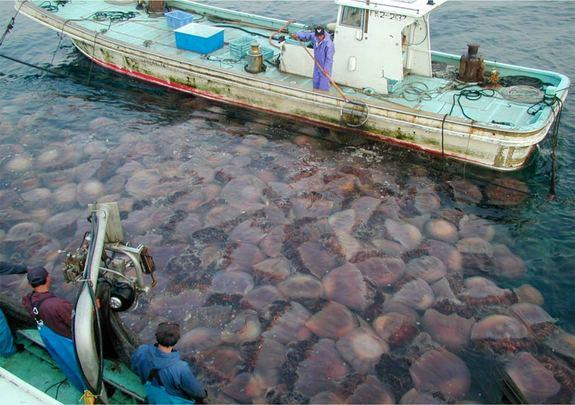 Gelatinous Menace? Jellyfish on Boom-Bust Cycle Worldwide