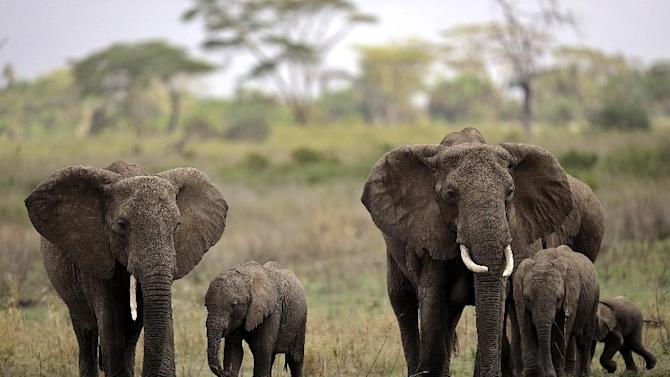 The environmental group WWF estimated that around 25,000 African elephants were hunted for ivory in 2011