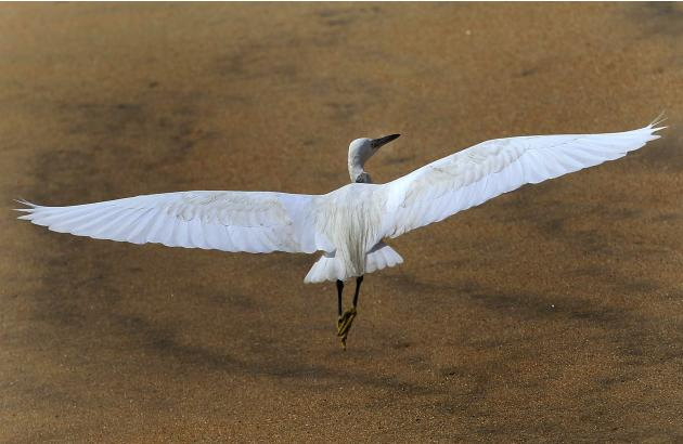 An egret prepares to fly near the Galle Face beach in Colombo