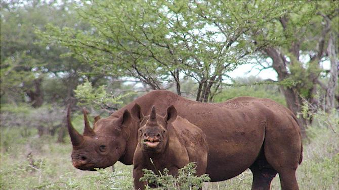 In this Jan. 5, 2003, photo released by U.S. Fish and Wildlife Service shows a black rhino male and calf in Mkuze, South Africa. The organizer of a Texas hunting club's planned auction of a permit that will allow a hunter to bag an endangered black rhino in Africa is hoping it raises up to $1 million for rhino preservation. (AP Photo/U.S. Fish and Wildlife Service, Karl Stromayer)