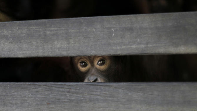 "In this Monday, Jan. 10, 2011 photo, a juvenile orangutan peers from the slats of a wooden sleeping cage at a care center in Pasir Panjang, Central Kalimantan, Indonesia. Hundreds of orangutans live at the rehabilitation center waiting to be released into the wild. A half-century ago, more than three-quarters of Indonesia, a sprawling archipelagic nation spanning the width of the United States, was blanketed in plush tropical rainforest. But in the rush to supply the world with pulp, paper and, more recently palm oil _ used in everything from lipstick and soap to ""clean-burning"" fuel _ half those trees have been cleared. For the first time in years, scientist Birute Mary Galdikas has hopes of releasing them into the wild, thanks to a Hong Kong-based development company's plans to protect a 224,866-acre stretch of forest. (AP Photo/Dita Alangkara) PART OF A 13-PICTURE PACKAGE BY DITA ALANGKARA"