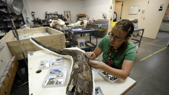 In this Nov. 25, 2014 photo, paleontology student Hillary McLean pieces back together the tusk of an ancient mastodon, part of an extensive discovery unearthed from Snowmass, Colo., inside a workroom at the Denver Museum of Nature and Science. A trove of ancient bones from gigantic animals discovered in the Colorado mountains provides a fascinating look at what happened about 120,000 years ago when the Earth got as warm as it is today, scientists say. (AP Photo/Brennan Linsley)