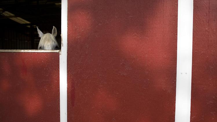 In this July 10, 2014 photo, a rescued horse peeks out of a stable at the Red Bucket Equine Rescue in Chino Hills, Calif. Almost every horse rescue in the country is running out of room or money as they continue to be strained by an influx of abandoned equines, a trend that began during the recession. When the barns are at capacity and rescue owners can't take in more animals, they will network to try to find an empty stall at another rescue, a foster home or with a potential adopter. (AP Photo/Jae C. Hong)