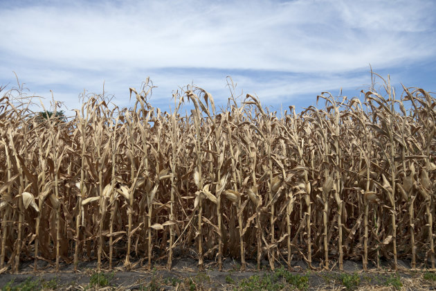 This photo from July 31, 2012 shows dried corn plants in Yutan, Neb. U.S. corn growers could have their worst crop in a generation as the harshest drought in decades takes its toll, the government rep