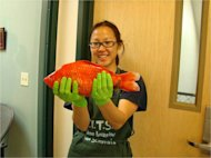 Gigantic goldfish, like this one held by University of Nevada, Reno, researcher Christine Ngai, have been found in the waters of Lake Tahoe.