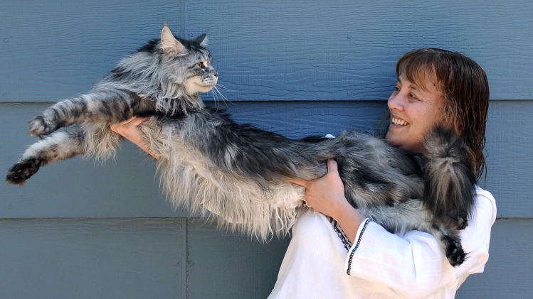 FILE - In this file photo taken July 1, 2009, Robin Henderson stretches out her Maine Coon cat Stewie outside of her home in Reno, Nev. The Reno owner of the longest domestic cat in the world says Stewie died Monday, Feb. 4, 2013 after a yearlong battle with cancer.  Guinness World Records declared Stewie the record-holder in August 2010, measuring 48.5 inches from the tip of his nose to the tip of his tail.  (AP Photo/Reno Gazette-Journal, Andy Barron)