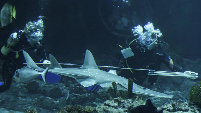 "The giant guitarfish ""Marina"" is measured by two divers during the annual inventory in Hagenbeck's zoo in Hamburg"