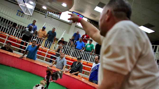 In this Friday, July 6 2012 photo, people shout out bets as a cockfight get underway at Las Palmas, a government-sponsored cockfighting club in Bayamon, Puerto Rico. The island territory's government is battling to keep the blood sport alive, as many matches go underground to avoid fees and admission charges levied by official clubs. Although long in place, those costs have since become overly burdensome for some as the island endures a fourth year of economic crisis.  (AP Photo/Ricardo Arduengo)