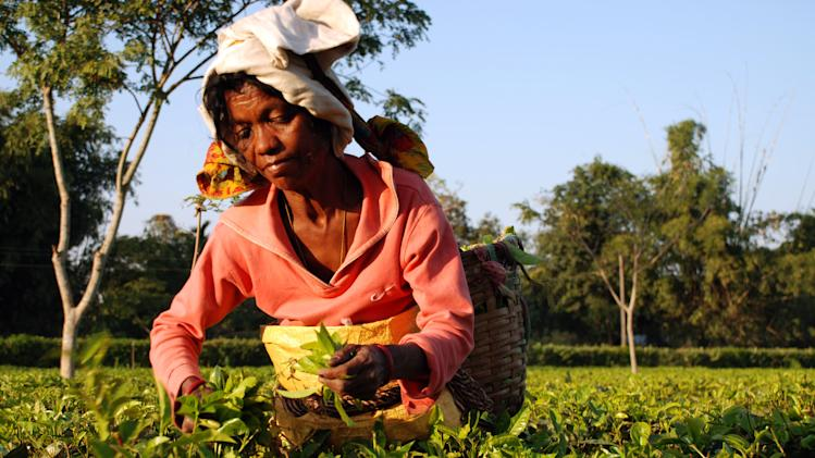 In this photo taken Dec. 4, 2012, a plucker makes her way through the tea bushes on the Addabarie Tea Estate in Assam, which dates back to 1870 and British colonial times in Balipara, India. Tourists can stay at nearby bungalows or a luxury 19th century lodge which once housed the estate manager. (AP Photo/Denis Gray)