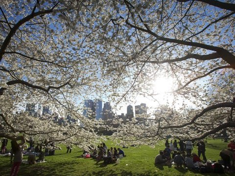 cherry blossoms central park
