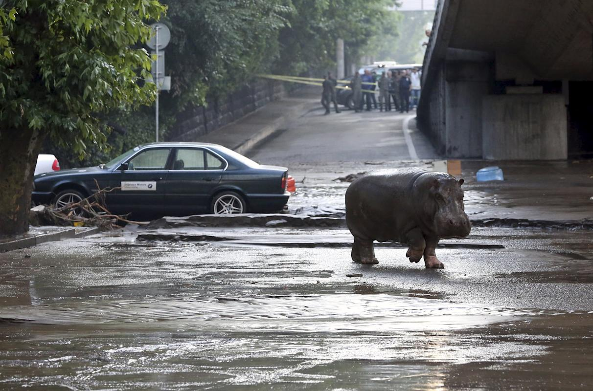 A hippopotamus walks across flooded street in Tbilisi