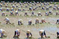 Local farmers plant rice shoots in the fields of Hsinwu, northern Taoyuan county on August 18. Taiwanese researchers said Thursday they have developed a strain of rice that cooks particularly soft for elderly people to meet the needs of a rapidly greying society