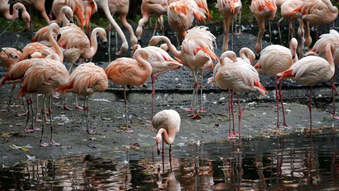 A flamboyance of flamingos stand in their enclosure at the zoo in Berlin