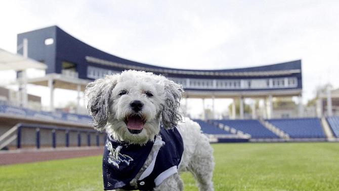"""In this Feb. 22, 2014 photo, Milwaukee Brewers mascot, Hank, is at the team's spring training baseball practice in Phoenix. The team has unofficially adopted the dog and assigned the name """"Hank"""" after baseball great Hank Aaron"""