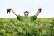 A grape picker at Bordeaux grand cru vineyard Chateau Haut-Brion last August. China is now Bordeaux's number one trading partner, and a recently formed Chinese wine fund plans to spend 100 million euros over the next five years