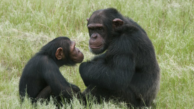 FILE - In this Feb. 1, 2011 file photo, chimpanzees sit in an enclosure at the Chimpanzee Eden rehabilitation center, near Nelspruit, South Africa. A study of chimps and orangutans released on Monday, Nov. 19, 2012, finds the same pattern of changes in happiness through life as many studies find in people. (AP Photo/Erin Conway-Smith, File)