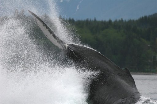 A humpback whale in action near Alert Bay, British Columbia, south of the area where scientists say the number of humpback whales has increased in the last eight years, thanks to recovery efforts. THE CANADIAN PRESS/HO-Rob Williams