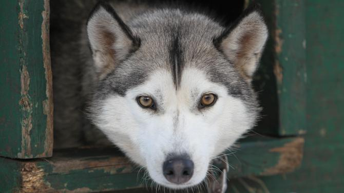 """This Thursday Jan. 17, 2013 photo shows one of 120 dogs from the Muddy Paw Sled dog Kennel in Jefferson, N.H. The kennel takes in rescues and """"second-chance"""" dogs  and is also home to a blind dog that relies on his brother to keep up with the rest of the team. (AP Photo/Jim Cole)"""