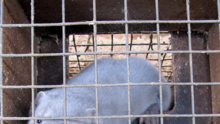 In this Feb. 12, 2013 photo a minks looks out from its cage at Bob Zimbal's fur farm in Sheboygan Falls, Wis. The U.S. fur industry has been volatile over the past 15 year with falling pelt prices that forcing dozens of American farms out of business. (AP Photo/Carrie Antlfinger)