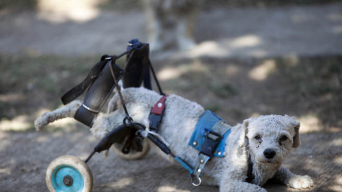 """Menta, equipped with a dog wheelchair, takes a rest at the """"Milagros Caninos,"""" sanctuary for abused and abandoned dogs, in Mexico City, Friday, Jan. 11, 2013. About 128 abused dogs are sheltered at the Milagros Caninos sanctuary. Dogs on wheelchairs, blind, deaf or ill frolic and run around the huge sanctuary in the southern part of Mexico City. (AP Photo/Eduardo Verdugo)"""