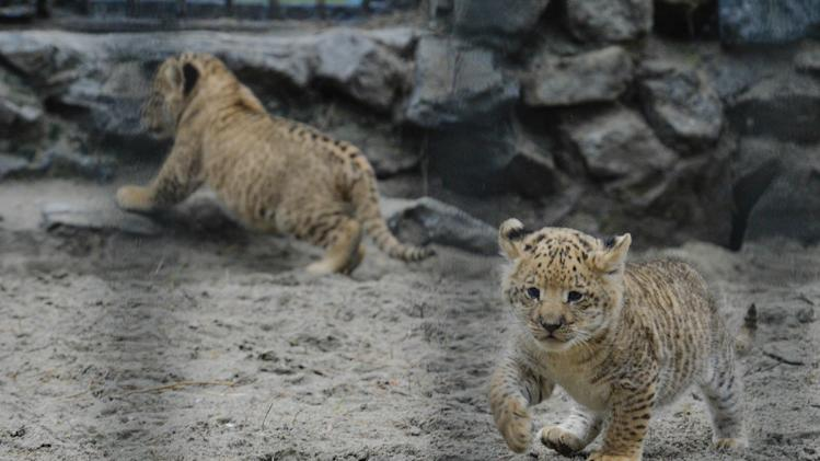 In this Tuesday, June 18, 2013 photo, a month-old liliger cubs walk in Novosibirsk Zoo. The cubs' mother is Zita, a liger - half-lioness, half-tiger, and their father is a lion, Sam. (AP Photo /Ilnar Salakhiev)