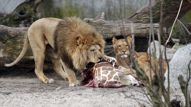 The carcass of Marius, a male giraffe, is eaten by lions after he was put down in Copenhagen Zoo on Sunday, Feb. 9, 2014. Copenhagen Zoo turned down offers from other zoos and 500,000 euros ($680,000) from a private individual to save the life of a healthy giraffe before killing and slaughtering it Sunday to follow inbreeding recommendations made by a European association. The 2-year-old male giraffe, named Marius, was put down using a bolt pistol and its meat will be fed to carnivores at the zoo, spokesman Tobias Stenbaek Bro said. Visitors, including children, were invited to watch while the giraffe was dissected. (AP Photo/POLFOTO, Rasmus Flindt Pedersen) DENMARK OUT